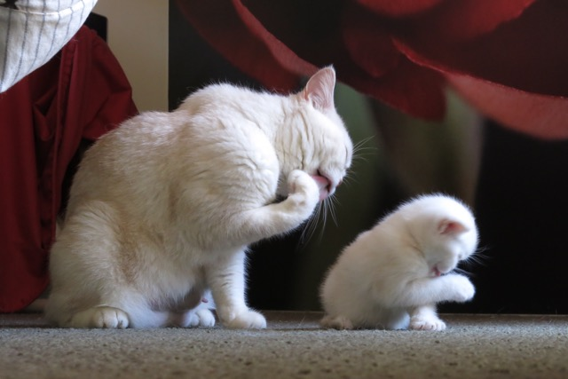 Peaches Teaching Her Kitten How To Clean Up